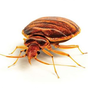 bed bug 380x380