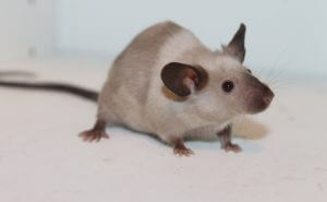 tiny white mouse